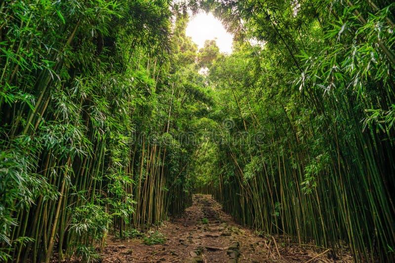 Bambú en el rastro de Pipiwai en el parque nacional de Haleakala, Hawaii imagen de archivo libre de regalías
