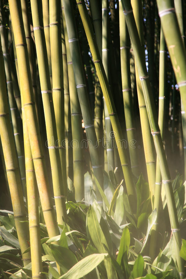 Bambú en la niebla imagen de archivo