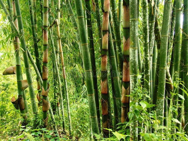 Bambú en una selva tropical imagen de archivo libre de regalías