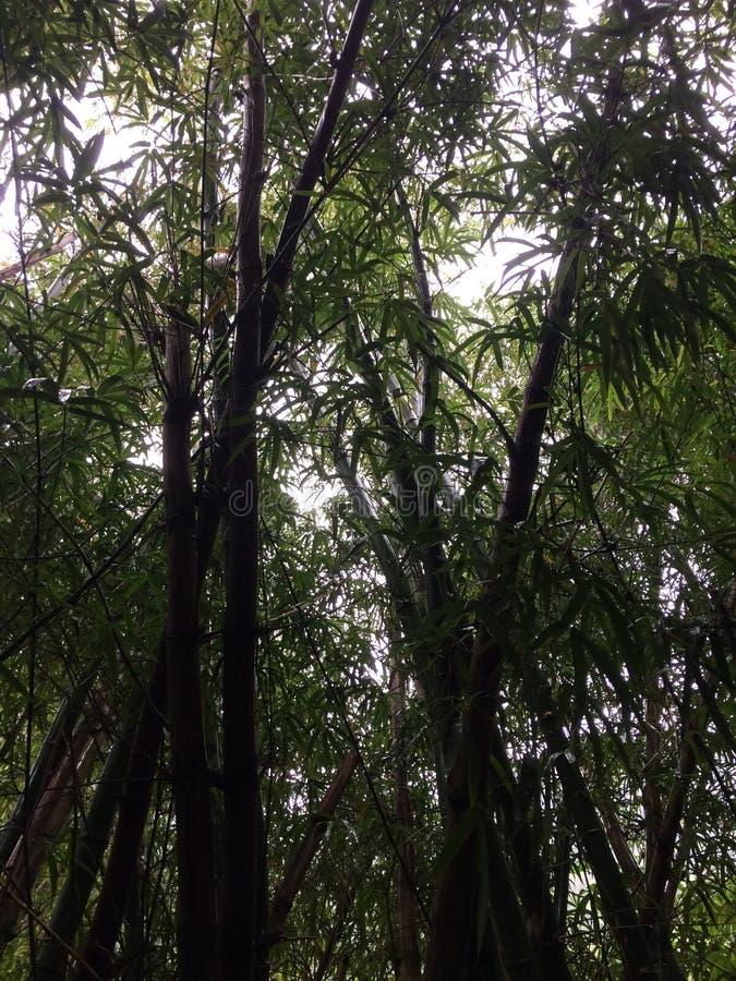 Bambú que crece a lo largo de rastro de las caídas de Hanakapiai en la costa de NaPali a lo largo del rastro de Kalalau en lluvio imagen de archivo