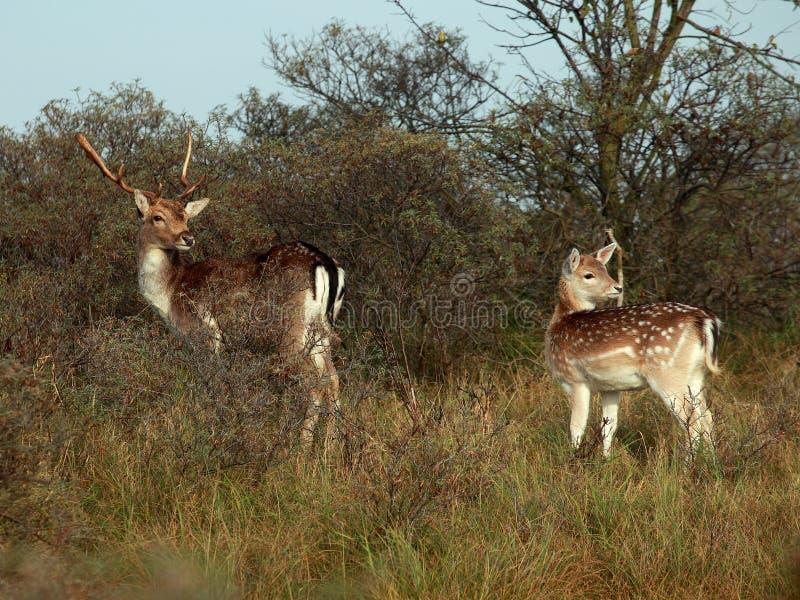 Bambi en las maderas fotografía de archivo