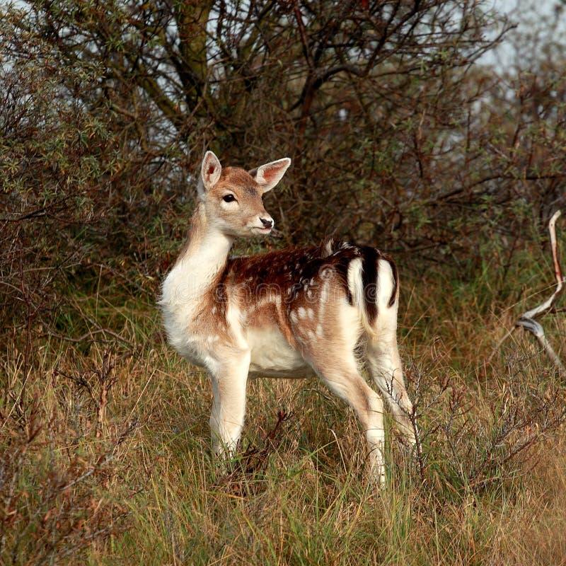 Bambi en las maderas foto de archivo libre de regalías