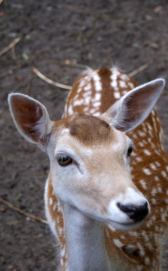 Bambi-Rotwild stockfotografie