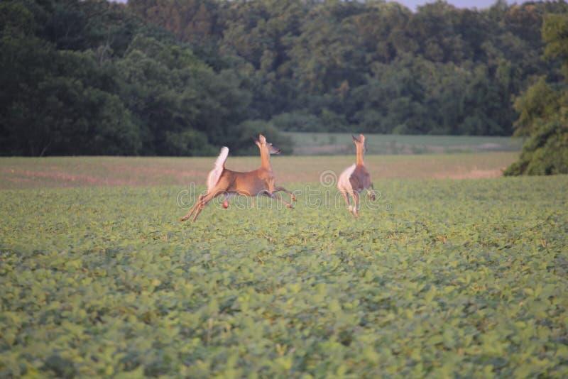 Bambi Is That You? immagine stock libera da diritti