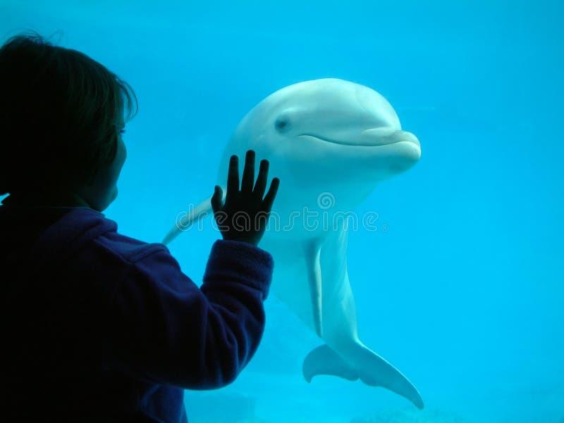 Bambina che interagisce con un delfino immagine stock