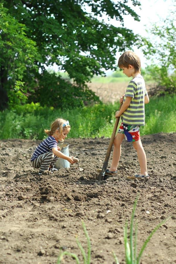 Bambini che contribuiscono a piantare le patate nel giardino fotografia stock libera da diritti