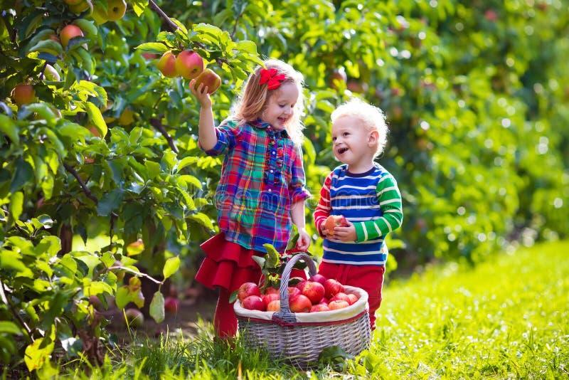 Bambini che selezionano le mele fresche dall'albero in un frutteto di frutta fotografia stock libera da diritti