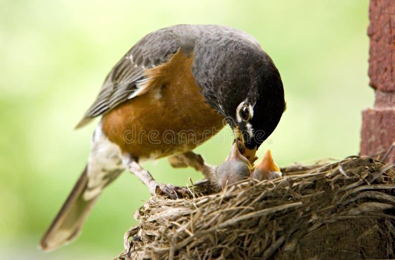 Bambini d'alimentazione di Robin della madre immagine stock libera da diritti