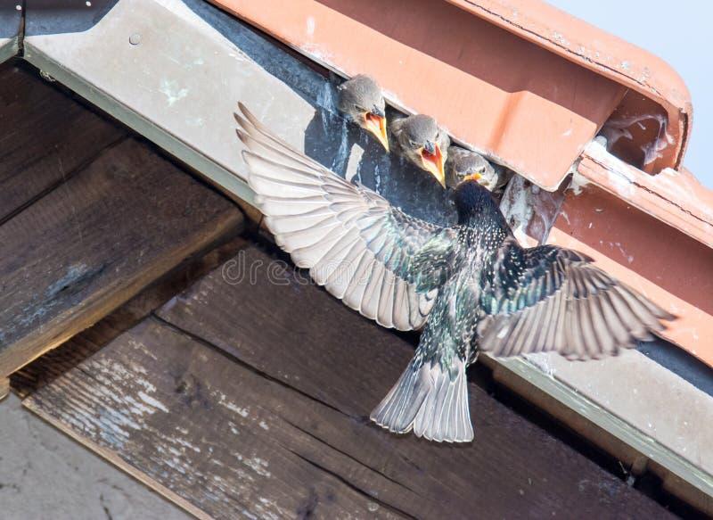 Bambini d'alimentazione volanti dello storno comune fotografia stock libera da diritti