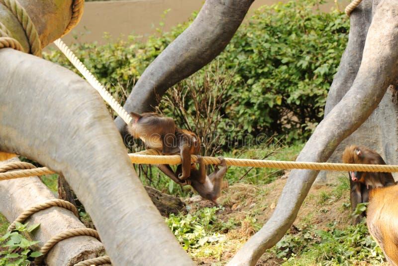 Bambini del mandrillo che giocano nel parco Scimmie che combattono tra di loro e che saltano sulla corda fotografie stock