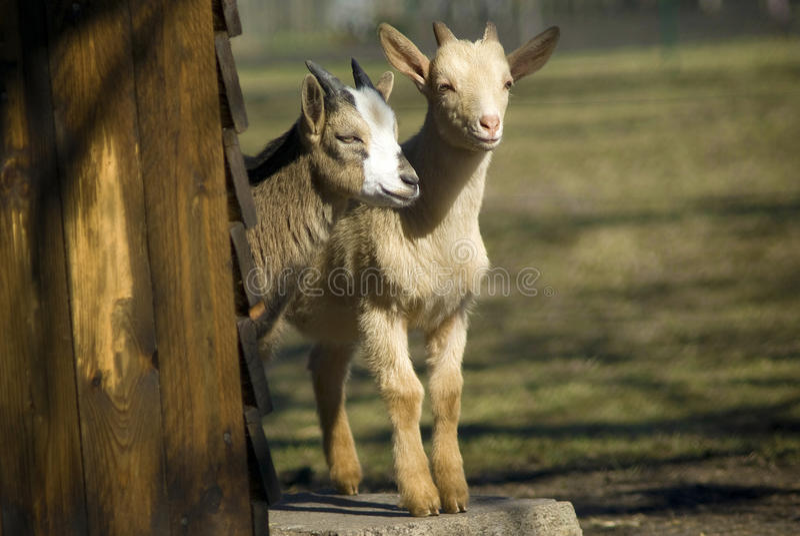 Bambini della capra fotografie stock libere da diritti