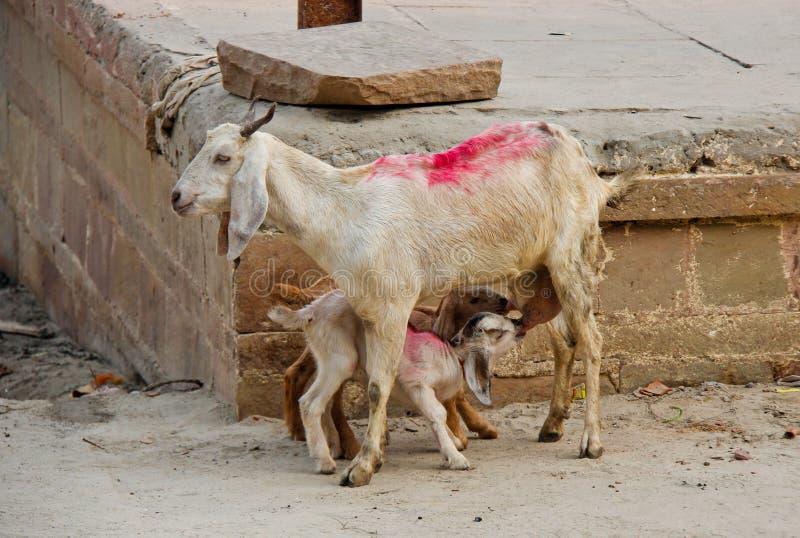 Bambini della capra che godono del latte fresco vicino al Gange in India fotografia stock libera da diritti