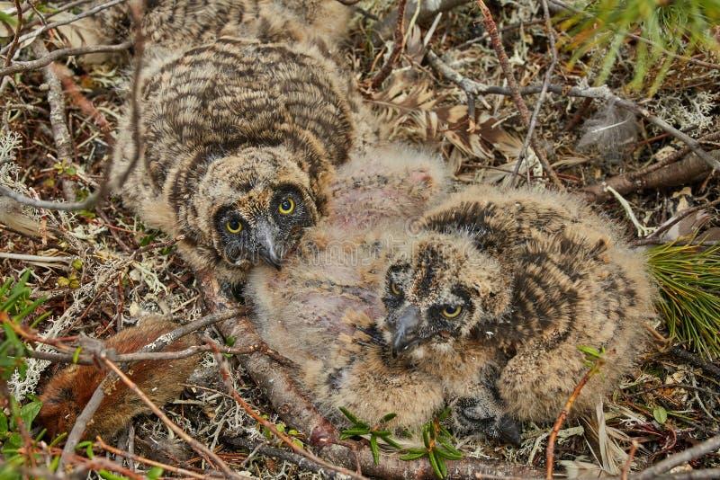 Bambini di un gufo in un'isola del nido sul lago Jack Londona Estate kolyma fotografie stock libere da diritti