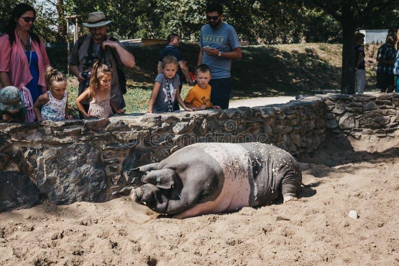 Bambini ed adulti che esaminano un maiale una recinzione all'aperto dell'azienda agricola nello zoo di Praga, repubblica Ceca fotografia stock