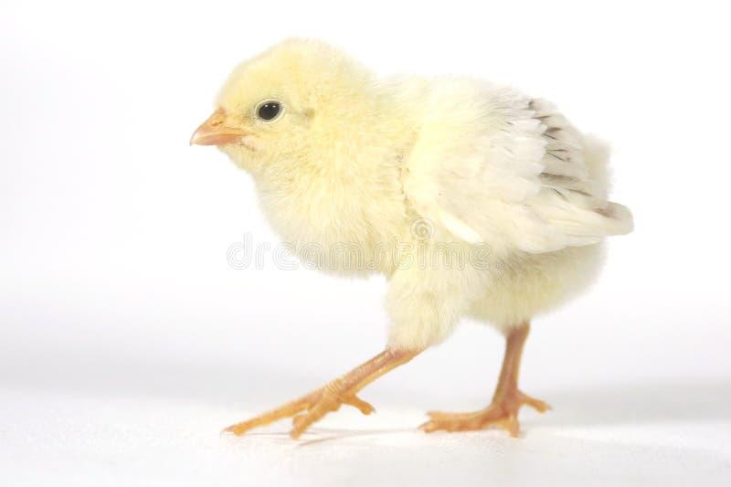 Bambino adorabile Chick Chicken su fondo bianco fotografia stock libera da diritti