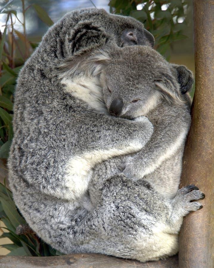 Bambino adulto femminile della holding dell'orso di koala, Australia immagini stock