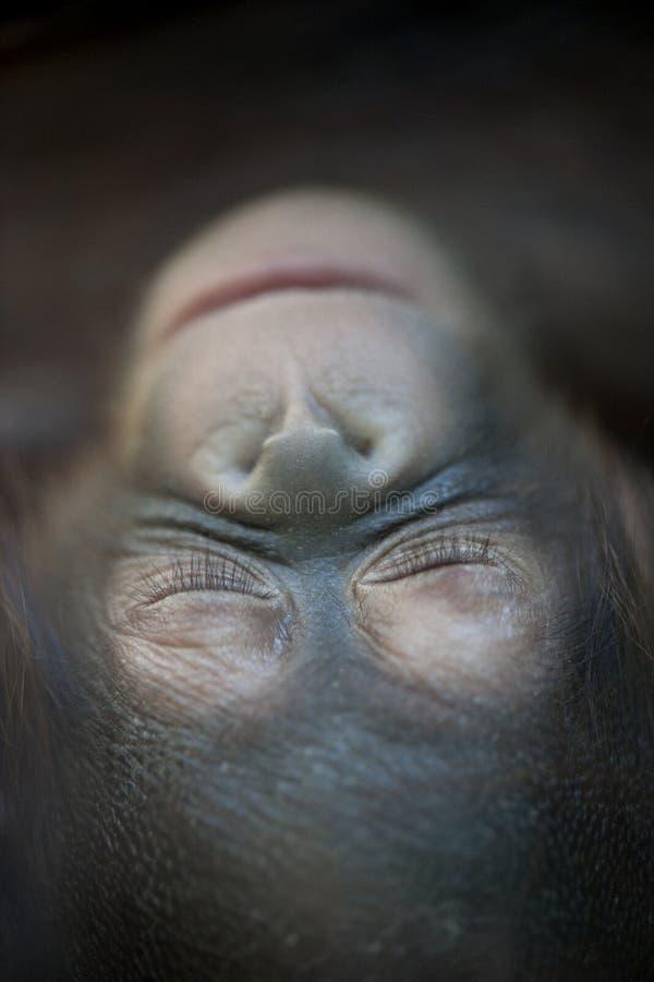 Bambino appena nato dell'orangutan che dorme (1 mese) - Pongo immagine stock