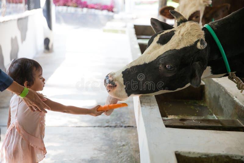 bambino che alimenta la mucca nell'azienda agricola fotografie stock
