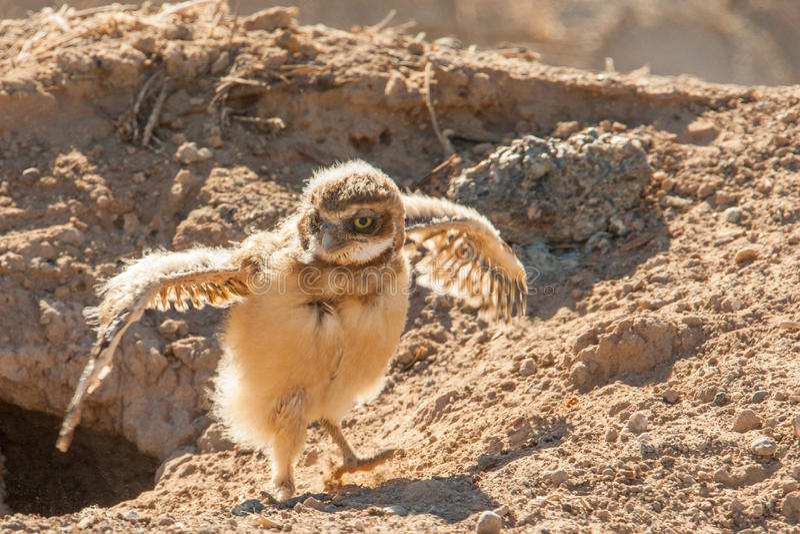 Download Bambino che Burrowing gufo fotografia stock. Immagine di gufo - 30827296