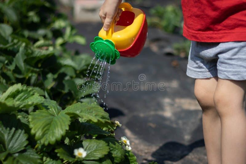 Bambino che innaffia un cespuglio di fragola da un annaffiatoio rosso-giallo La foto mostra le mani di un bambino, nessun fronte  immagini stock