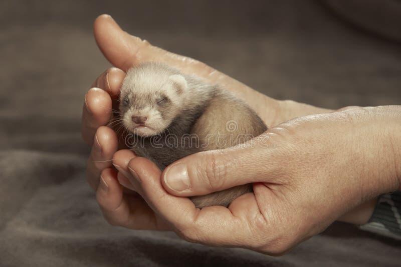 Bambino cieco del furetto in mani umane del selezionatore immagine stock
