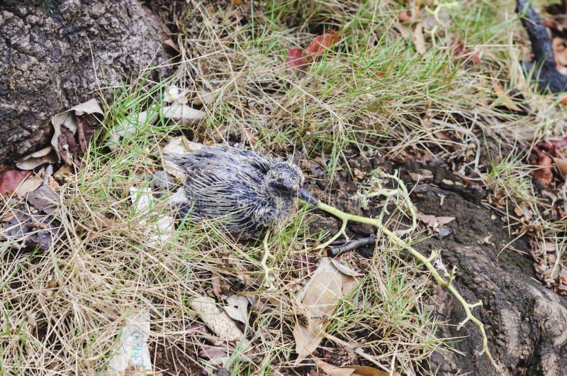 Bambino del piccione caduto dal nido immagini stock libere da diritti