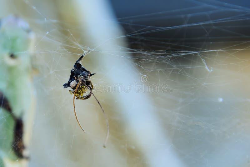 bambino del ragno fotografia stock