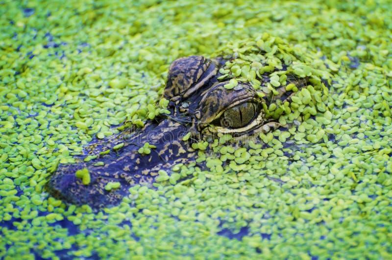 Bambino dell'alligatore immagini stock