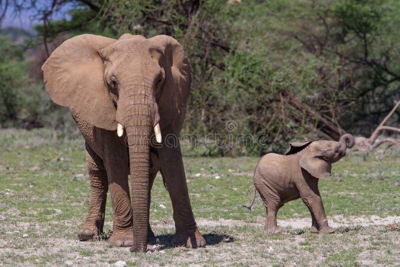 Bambino dell'elefante con la madre che cammina nel Kenya immagine stock libera da diritti