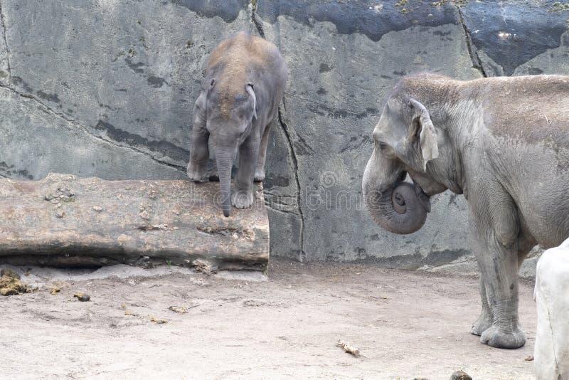 Bambino dell'elefante in pericolo equilibrando sopra il tronco Zoo Colonia, Germania fotografia stock libera da diritti