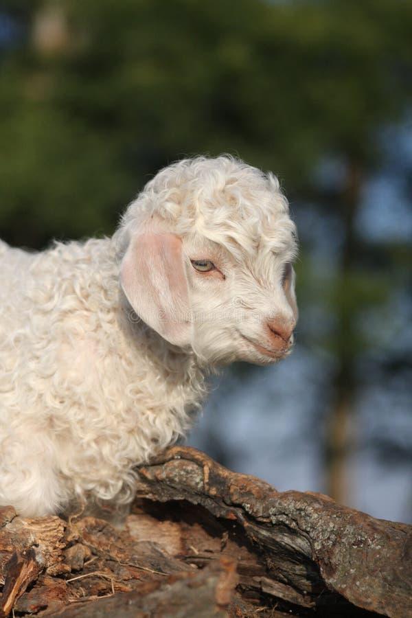 Bambino della capra di angora immagini stock