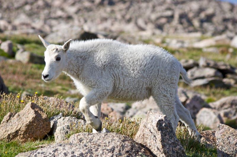 Bambino della capra di montagna fotografia stock libera da diritti