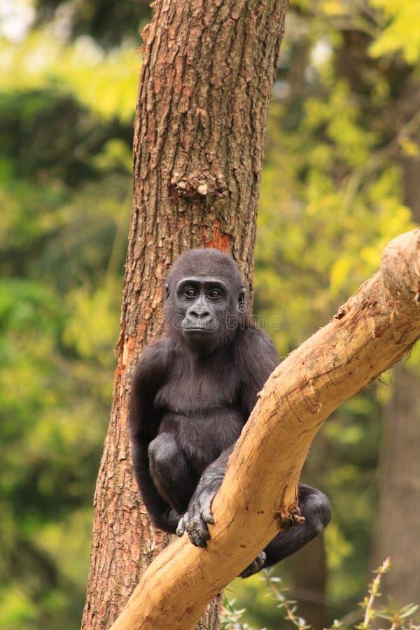 Bambino della gorilla in albero fotografia stock