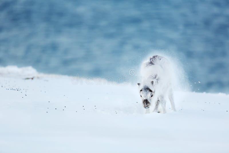 Bambino della renna polare su ghiaccio fotografie stock libere da diritti