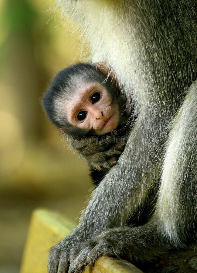 Bambino della scimmia di Vervet che è tenuta in armi di sua madre nel Sudafrica immagine stock
