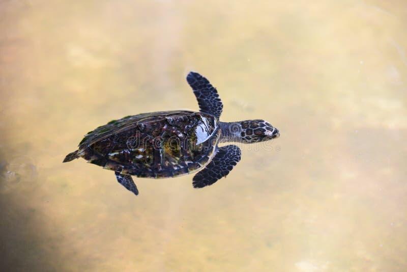 Bambino della tartaruga di Hawksbill piccolo 2-3 mesi - nuoto della tartaruga di mare sullo stagno sull'azienda agricola fotografia stock libera da diritti