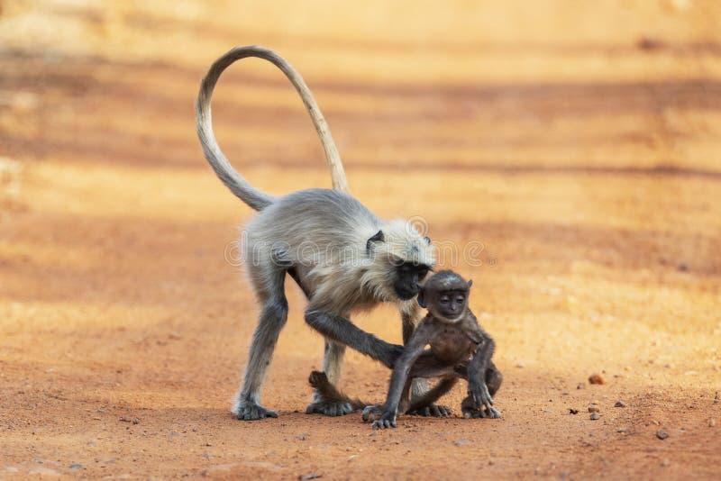 Bambino della tenuta della madre della scimmia, Tadoba, maharashtra, India fotografia stock libera da diritti