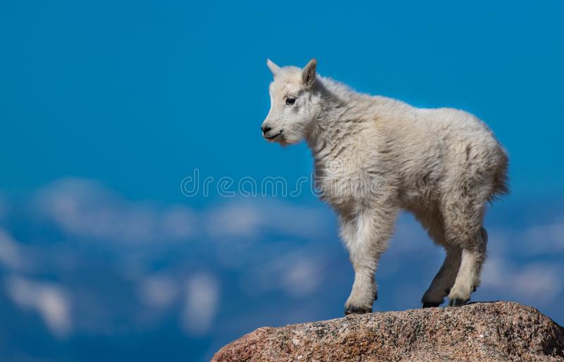 Bambino dello stambecco sulla cima della montagna fotografie stock libere da diritti