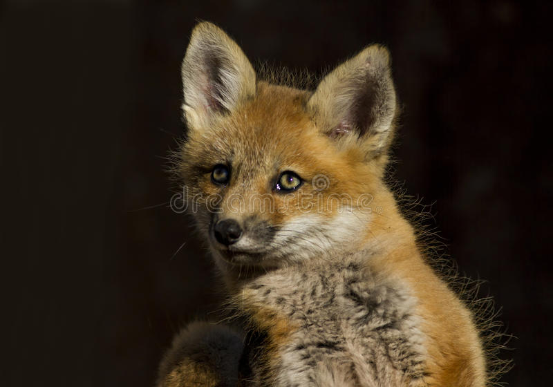 Bambino di Fox rosso fotografia stock libera da diritti