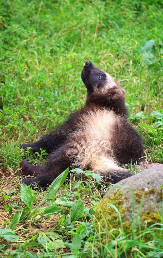 Bambino di Wolverine immagini stock libere da diritti