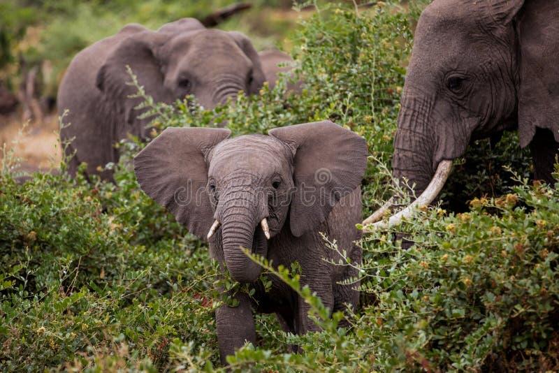 Bambino elefant con sua madre immagine stock
