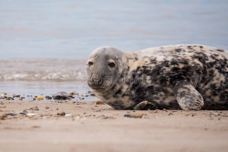 Bambino giovane l'Atlantico Grey Seal fotografie stock libere da diritti