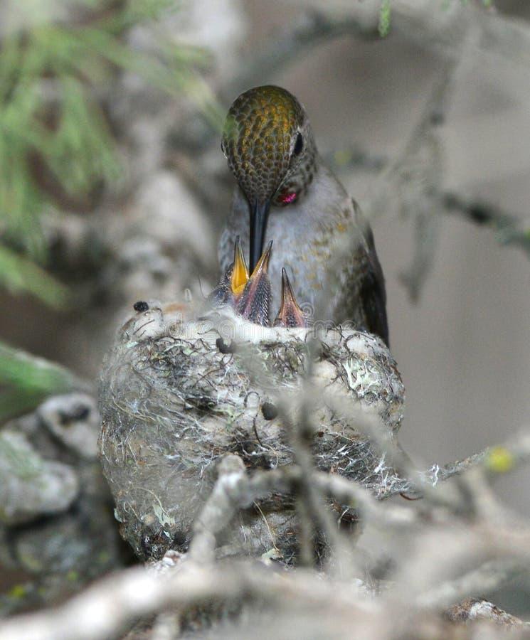 Bambino infantile d'alimentazione femminile del colibrì di Annas in nido, beac di pismo fotografia stock