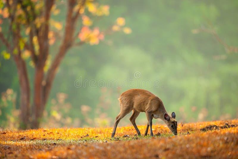 Bambino Muntjac sul pascolo dorato nella stagione primaverile fotografia stock libera da diritti