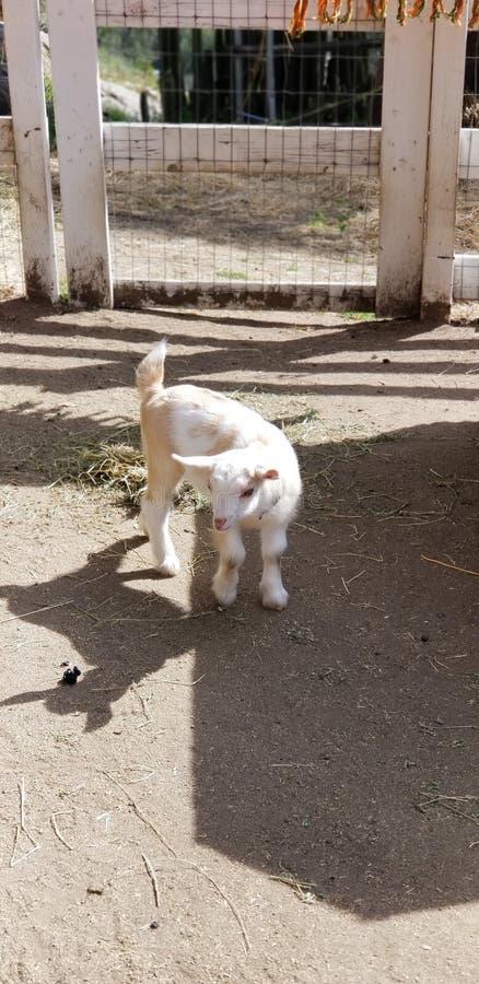 Bambino pigmeo della capra che mastica sulla paglia - capra del bambino - hircus di aegagrus della capra fotografia stock libera da diritti