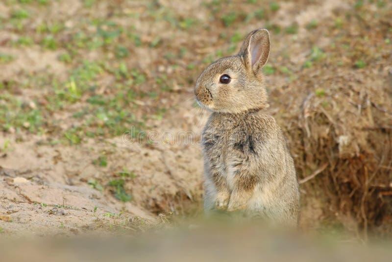 Bambino selvaggio adorabile del coniglio dalla tana immagine stock