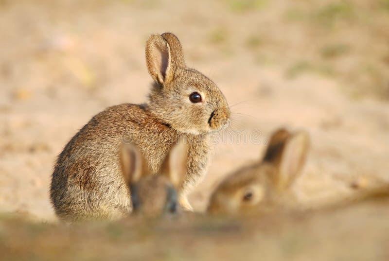 Bambino selvaggio adorabile del coniglio dalla tana fotografie stock libere da diritti