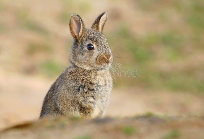 Bambino selvaggio adorabile del coniglio dalla tana fotografia stock libera da diritti