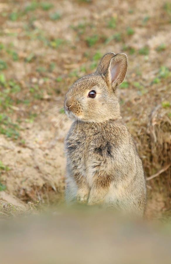 Bambino selvaggio adorabile del coniglio dalla tana immagini stock libere da diritti