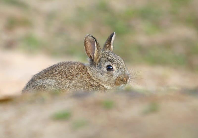 Bambino selvaggio adorabile del coniglio dalla tana fotografie stock